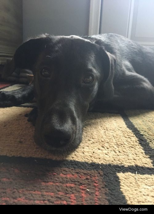 This is Bella a lab mix from a farm, she's crazy but gets…