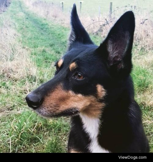 Dio, my 7 year old Kelpie X Jack Russel mix. A local celebrity…