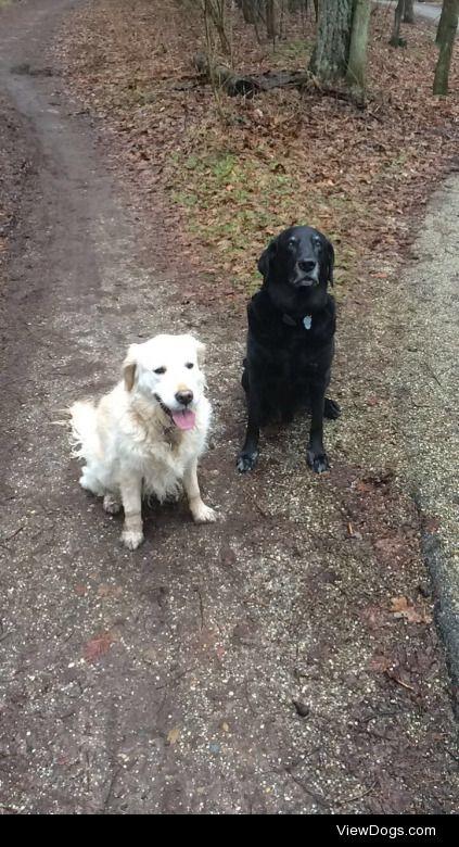 Mila (left, golden retriever) and Elwood (right, Labrador) are…