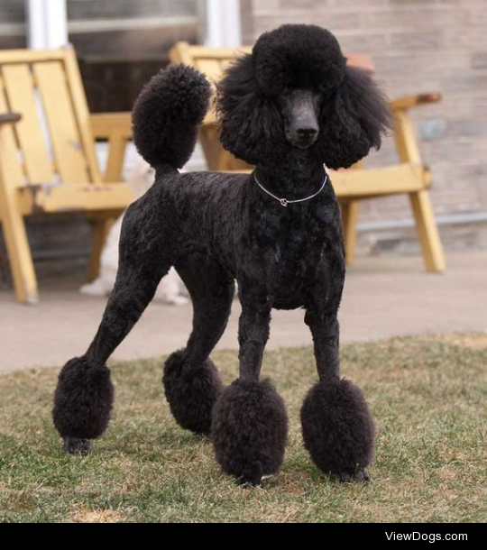 Wait, so why is the Bedlington haircut a thing? I know poodle cuts are supposed to be to protect their joints in cold water but that's the only breed I've seen before with a distinctive/recognized haircut. What's the reasoning for the Bedlington terrier?
