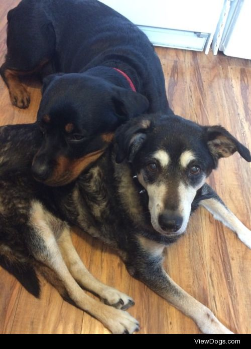 """Luci (2 yr old Rottweiler) and her """"sister"""" Callie…"""