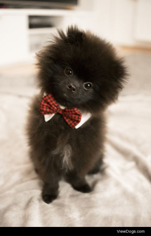 This is Fluffy. He is a 6 months old Pomeranian who is also a…