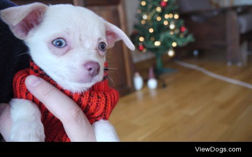 Twigs the Short Haired Chihuahua at 10 weeks old ♥…