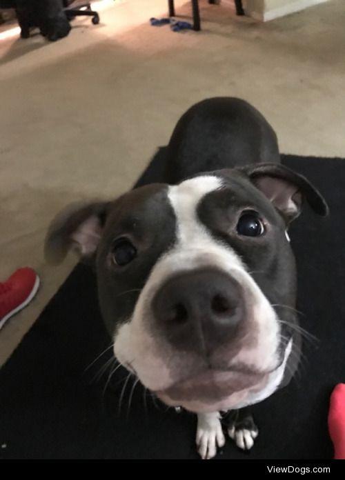 My pitbull Roxy smiles fam.