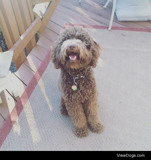This is Monty. He is a 2 year old Labradoodle that loves playing…