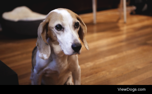 This is Lily, my Beagle. She's 12 years old but still got…