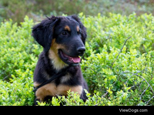 German shepherd puppy portrait by Jimmy Brandt