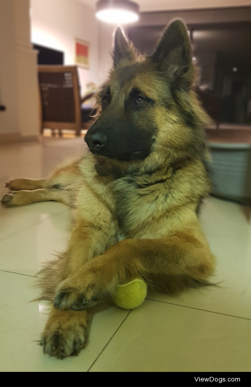 This is Rocky majestically guarding his tennis ball, I think…