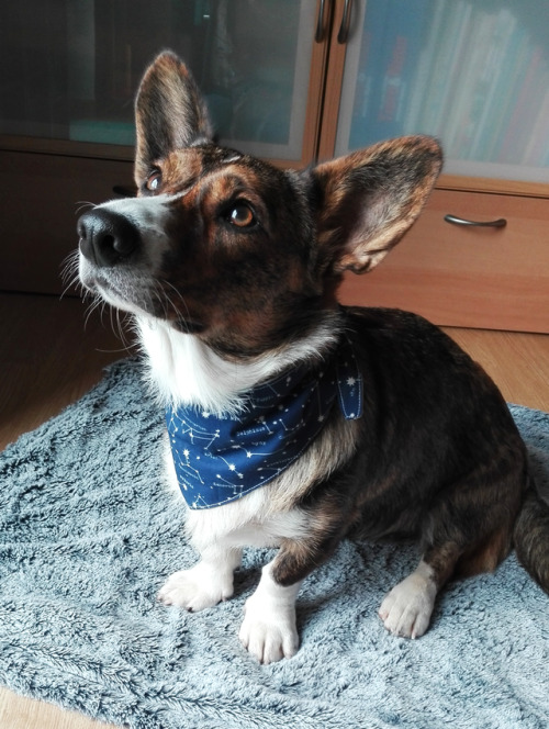 This sweet girl is Evie. She's a 1 year old Cardigan Welsh Corgi…