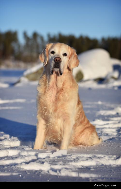 oneabsentdog:  One wise golden