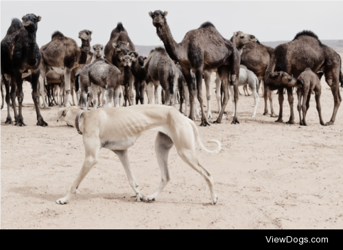 livestockguardiangod:  A Sloughi (Arabian greyhound) herds a…