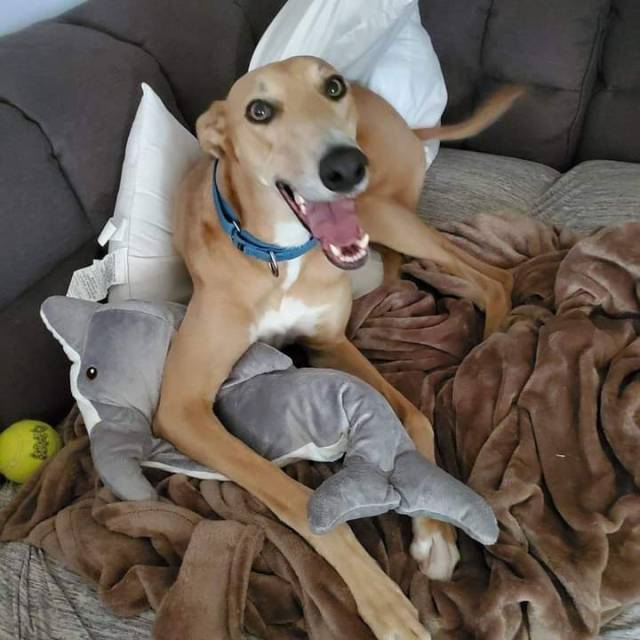 galtx:Nash looks pretty happy about his new dolphin stuffy.  Forever home is awesome!