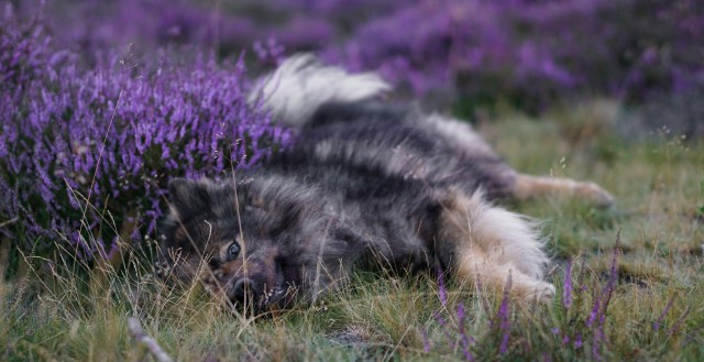 lokis-hexe:15.08.2020This year's photos in the heather