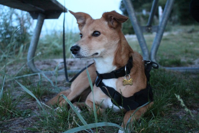 usagi-the-bunny-dog:Some pics of Usagi from our horse-wagon camping trip, she finally got to…