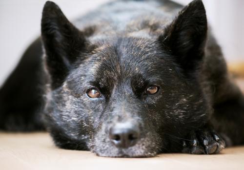 tatenoatsuko:  甲斐犬7歳My dog, Kai.7years old. Kaido