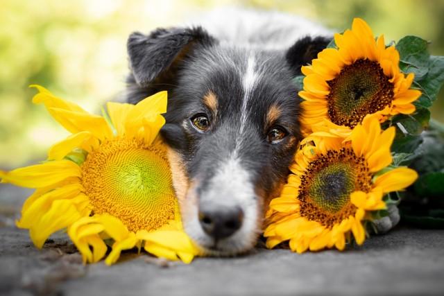 sammythesheltie:If Sammy would be a flower, I think he would be a sunflower ❤.