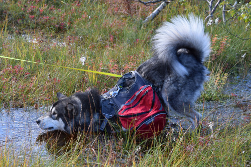 my-kbd-and-mal:  Get your dog a backpack, they said. He will…