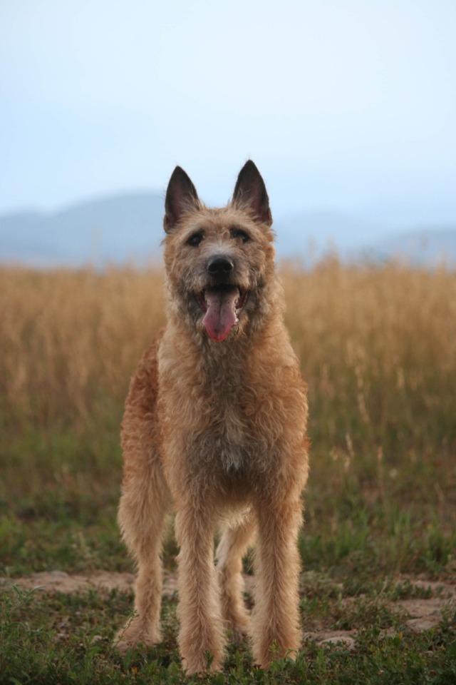 thedoomydogs:Imke Fan'e Rispinge, 13mo Belgian Laekenois (Photography by Pawkuna Matata Pet…