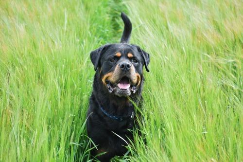 ollietherottweiler:  Ollie in a wheat field