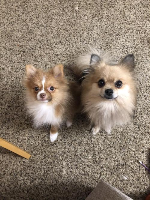 pomsoverload:  My sweet babies �