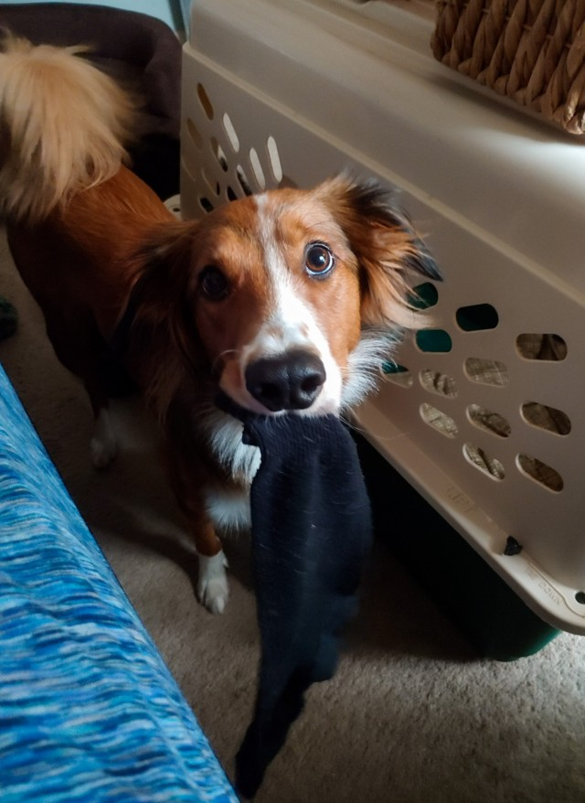 riley-coyotl:Look at the innocent angel face on this little sock thief!(She brought it to me and I…