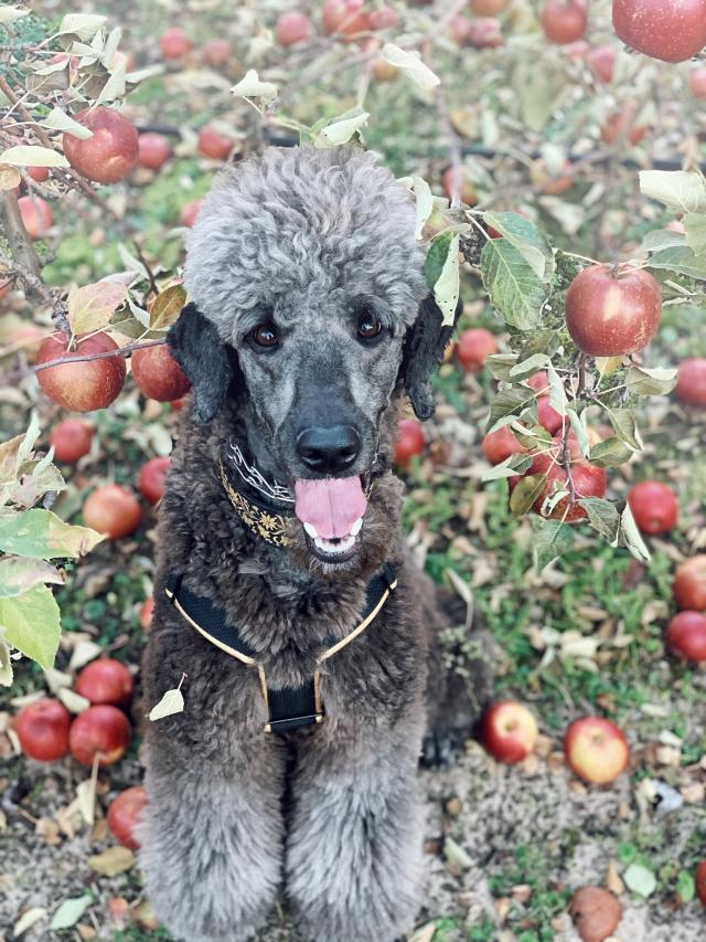 pseudopoodle:Apple of my eye 🍎🐩