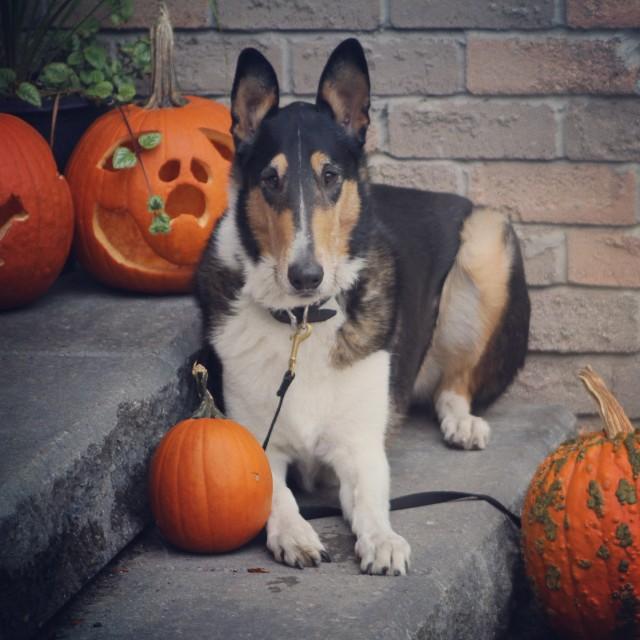 shepherdnerd:Happy Halloween!