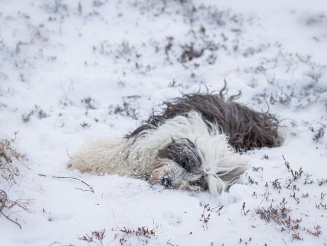 soulpups:just taking a nap in the cold snow nbd 😴