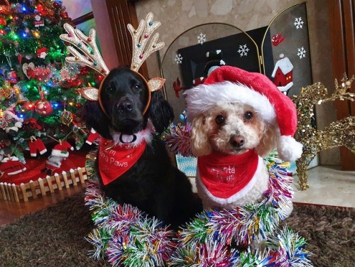 Merry Christmas from santa and rudolph! ❤ #handsomedogs