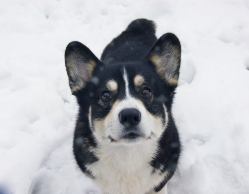 pippin-rally-corg:  <3